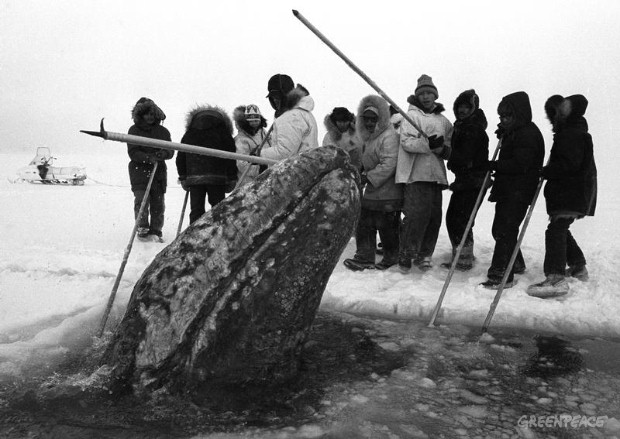 A California gray whale surfaces in a breathing hole near rescuers who were cutting holes into the ice pack off Point Barrow in October 1988.