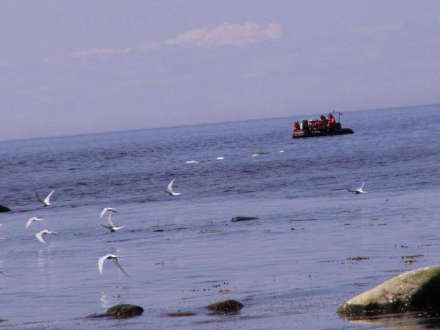 Этот катер О. Кодолы подошёл осторожно к северному скоплению белух. Животные подошли довольно близко.