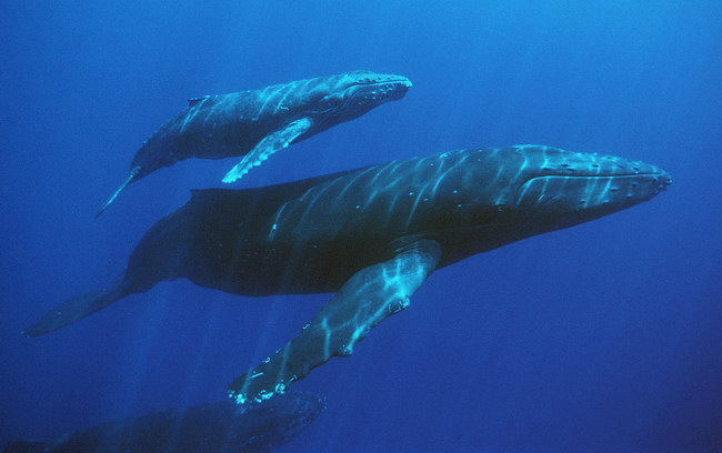 humpback whales, mother, calf, and escort, Megaptera novaeangliae, note mother's damaged fluke possibly due to predatory attack, Hawaii (Pacific)